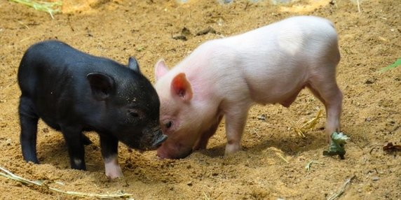 Piglets oasis farm waterloo header image